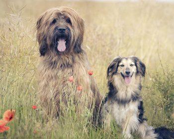 zwei Hunde vorm Getreidefeld