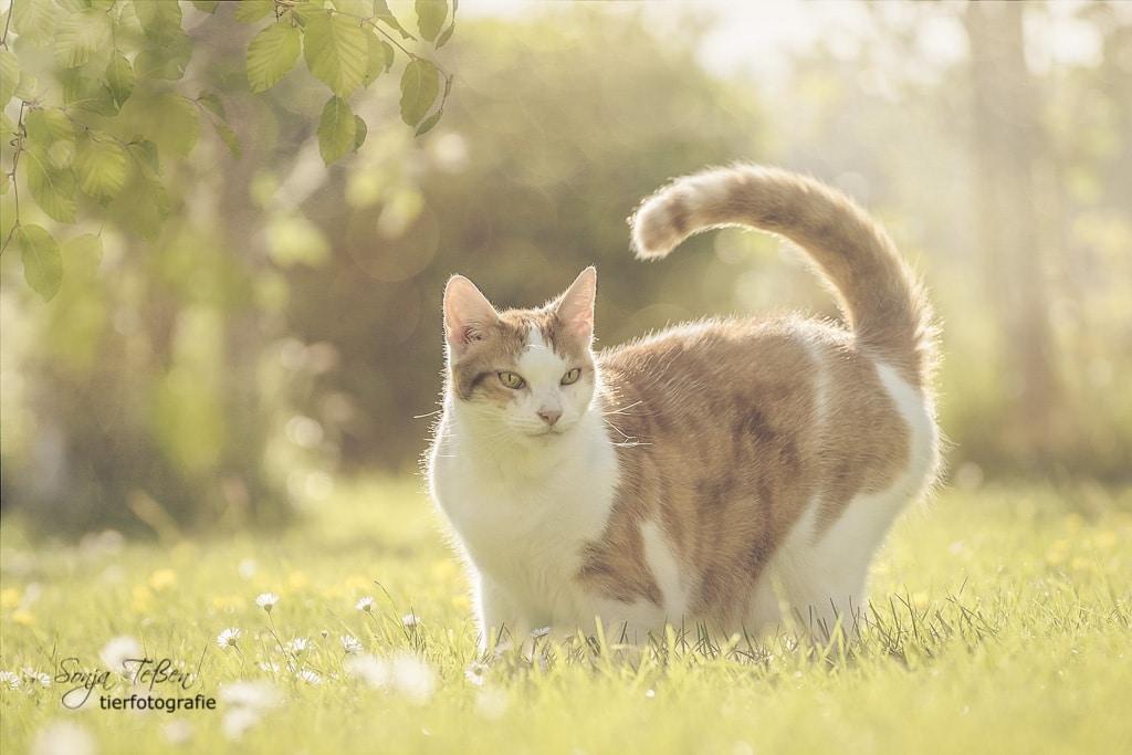 rot-weiße Katze im Sonnenlicht