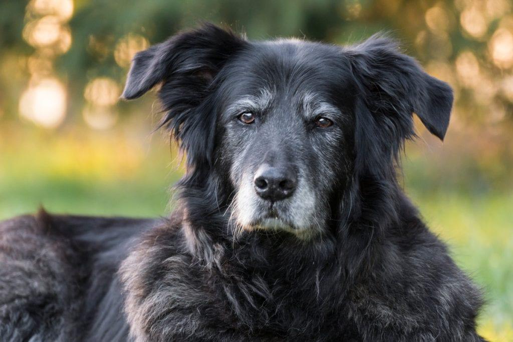 alter Hund mit grauer Schnauzer