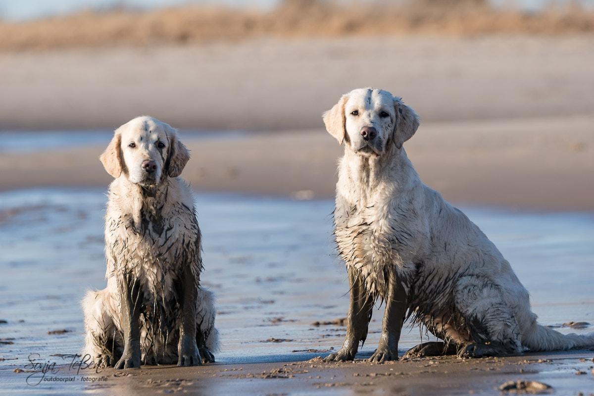 zwei schmutzige Golden Retriever am Strand
