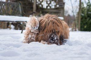Briard mit Schnee im Fell