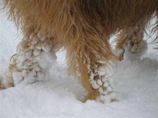 Schneeklumpen im Fell