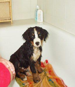 Berner Sennenhund Welpe in der Badewanne