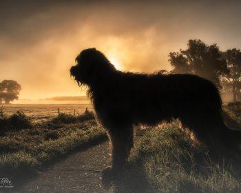 Briard im Morgenlicht