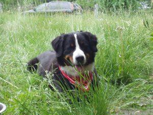 Berner Sennenhund Anton