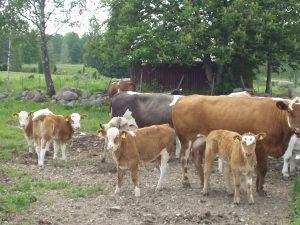 Kühe vorm Ferienhaus