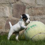 kleiner Welpe mit Ball