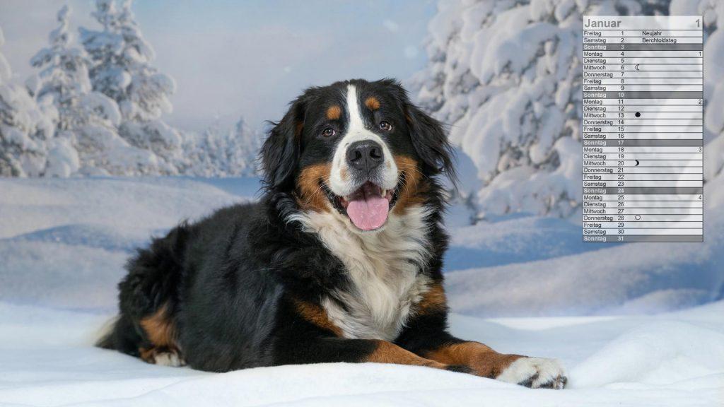 Berner Sennenhund Mondkalender